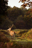 Red deer stag during rut season Stock Photography