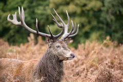 Red deer stag during rutting season in Autumn Stock Image