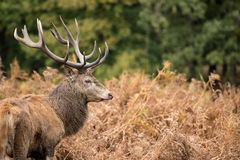 Red deer stag during rutting season in Autumn Royalty Free Stock Image