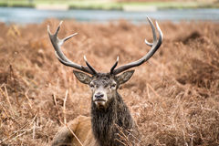 Red deer stag during rutting season in Autumn Royalty Free Stock Photos