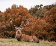 Red deer stag during rutting season in Autumn Royalty Free Stock Photo