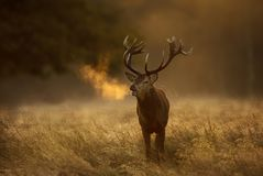 Red Deer stag during rutting season with breath condensing at dawn. Close up of a Red Deer Cervus elaphus stag during rutting season with breath condensing at stock image