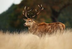 Red deer stag during rutting season royalty free stock image