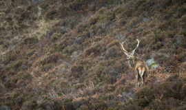 Red Deer Stag on a Scottish Hillside Royalty Free Stock Photos