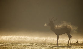 Red deer stag silhouette Royalty Free Stock Images
