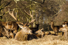 Red Deer Stag, Sitting Down Stock Images