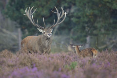 Red deer stag and son Royalty Free Stock Photography