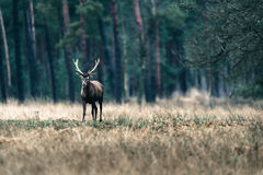 Red deer stag standing in field near forest. National Park Hoge Royalty Free Stock Photo
