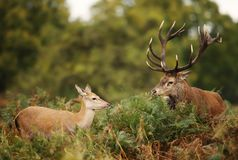 Red Deer stag standing by a hind royalty free stock photo