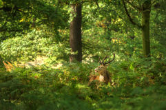 Red deer stag sun bathed forest Stock Photo