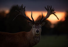 Red Deer Stag with Sunset Background. A large red deer stag with unusual pointed down sections to his antlers poses against the sun setting behind the treeline stock image
