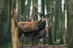 Red deer stag between tree trunks in winter forest. Red deer stag between tree trunks in a winter forest Royalty Free Stock Photo