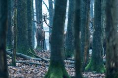 Red deer stag between tree trunks in winter forest. Red deer stag between tree trunks in winter forest with snowfall Stock Photography