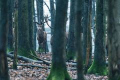 Red deer stag between tree trunks in winter forest. Red deer stag between tree trunks in winter forest with snowfall Stock Image