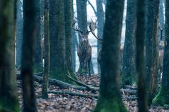 Red deer stag between tree trunks in winter forest. Red deer stag between tree trunks in winter forest with snowfall Stock Images