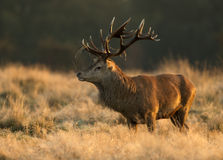 Red deer stag, UK Royalty Free Stock Photography