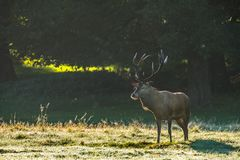 Red Deer Stag Under Golden Morning Light Stock Photography