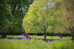 Red Deer Stag Under Tree with Bluebells Stock Photos