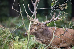 Red deer stag using fallen branches to clean the velvet from his Royalty Free Stock Photo