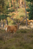 Red Deer stag in velvet. Red Deer with its antlers in velvet Stock Photo