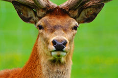 Red deer stag in velvet Stock Image
