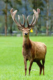 Red deer stag in velvet Royalty Free Stock Photography