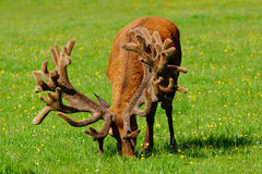 Red deer stag in velvet Royalty Free Stock Image