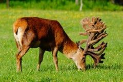 Red deer stag in velvet Royalty Free Stock Images
