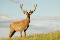 Red deer stag in velvet. Male deer with large antlers in velvet Royalty Free Stock Photography