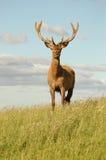 Red deer stag in velvet. Male deer with large antlers in velvet Royalty Free Stock Photos
