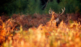 A Red deer stag Stock Photo