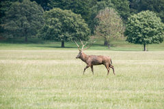 A red deer stag walking through a field. At Woburn abbey, UK Royalty Free Stock Image