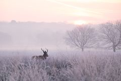 Red Deer Stag Walking Through a Frozen Meadow in England stock photography
