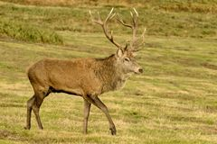 Red Deer Stag walking. A red deer stag walking sniffing smelling bellowing in rut royalty free stock image