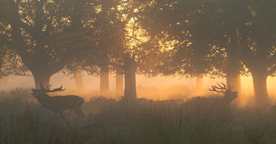 Red Deer Stags Bellowing Royalty Free Stock Photos