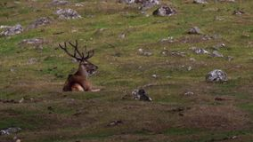 Red deer stags, Cervus elaphus, grazing and resting on moorland during august in the cairngorms national park, scotland.