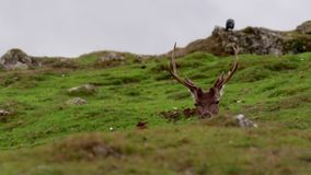 Red deer stags, Cervus elaphus scoticus, resting within a glen in september, cairngorms national park