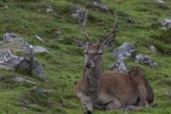 Red deer stags, Cervus elaphus scoticus, resting within a glen in september, cairngorms national park Stock Photo