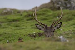 Red deer stags, Cervus elaphus scoticus, resting within a glen in september, cairngorms national park Royalty Free Stock Photography
