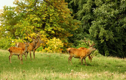 Red deer stags, (Cervus elephus) Royalty Free Stock Images
