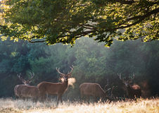 Red deer stags on cold morning Stock Photography