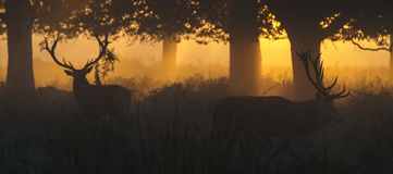 Red Deer Stags at Dawn Stock Photos