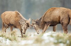 Red deer stags fighting in winter. Close-up of Red deer stags fighting in winter, UK royalty free stock photography