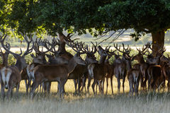 Red Deer Stags Stock Photography