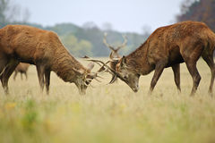 Red deer stags jousting with antlers Stock Image