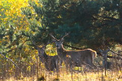 Red deer stags Royalty Free Stock Photos