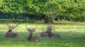 Red deer stags relaxing in Summer evening Stock Image