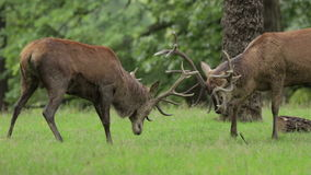 Red Deer Stags rutting stock footage