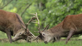 Red Deer Stags rutting stock video