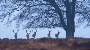 Red deer stags under winter tree in misty heather. stock image